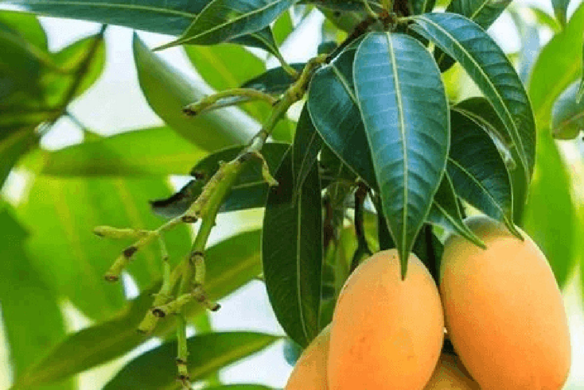 Los beneficios de la hoja de mango contra la diabetes - Kiitos || Blog
